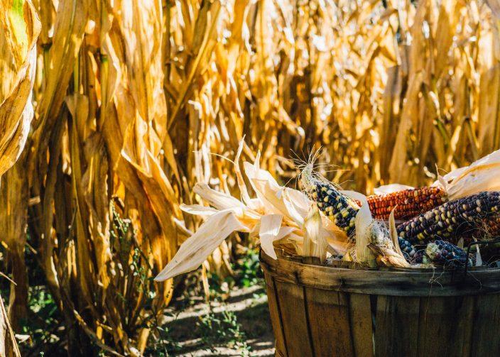 Новая цель российской пропаганды: ГМО